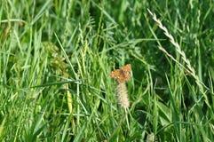 πεταλούδων ασήμι που πλένεται fritillary Στοκ φωτογραφίες με δικαίωμα ελεύθερης χρήσης