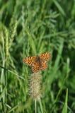 πεταλούδων ασήμι που πλένεται fritillary Στοκ Φωτογραφίες