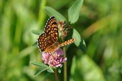 πεταλούδων ασήμι που πλένεται fritillary Στοκ Φωτογραφία