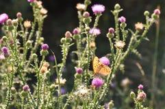 πεταλούδων ασήμι που πλένεται fritillary Στοκ εικόνες με δικαίωμα ελεύθερης χρήσης