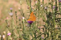 πεταλούδων ασήμι που πλένεται fritillary Στοκ Εικόνες