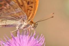 πεταλούδων ασήμι που πλένεται fritillary Στοκ Εικόνα
