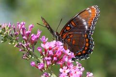 πεταλούδων κόκκινο που &ep Στοκ εικόνα με δικαίωμα ελεύθερης χρήσης