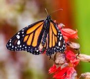 πεταλούδων λουλουδιών πλήρως μακρο φτερά συνεδρίασης μοναρχών ανοικτά βλασταημένα Στοκ Εικόνες