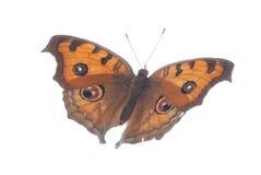 πεταλούδα που πετά το pansy peacock Στοκ Εικόνα