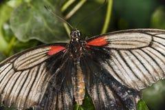 πεταλούδα τροπική Στοκ Φωτογραφία