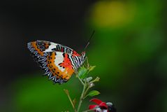 πεταλούδα τροπική Στοκ εικόνα με δικαίωμα ελεύθερης χρήσης