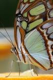 πεταλούδα 5 Στοκ Εικόνα