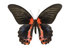 πεταλούδα swallowtail Στοκ φωτογραφίες με δικαίωμα ελεύθερης χρήσης