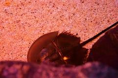 Πεταλοειδές καβούρι Στοκ Φωτογραφίες