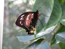 Πεταλούδα άγριας φύσης σε ένα φύλλο Στοκ εικόνα με δικαίωμα ελεύθερης χρήσης