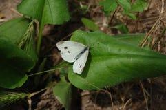 Πεταλούδα άσπρων λάχανων σε ένα μεγάλο πράσινο φύλλο Στοκ Εικόνες