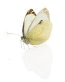 Πεταλούδα λάχανων που απομονώνεται στο άσπρο υπόβαθρο Στοκ φωτογραφία με δικαίωμα ελεύθερης χρήσης