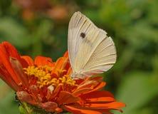 Πεταλούδα λάχανων στο πορτοκαλί λουλούδι Στοκ Φωτογραφίες