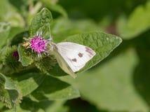 Πεταλούδα λάχανων Στοκ Εικόνες