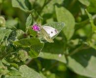 Πεταλούδα λάχανων Στοκ Εικόνα