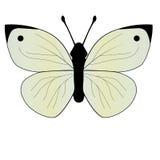 Πεταλούδα λάχανων Στοκ φωτογραφία με δικαίωμα ελεύθερης χρήσης