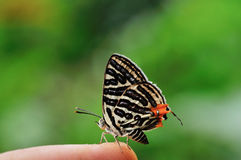 Πεταλούδα (λέσχη Silverline) στο δάχτυλο Στοκ φωτογραφία με δικαίωμα ελεύθερης χρήσης