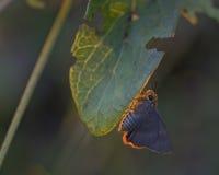 Πεταλούδα λίγα. Στοκ εικόνες με δικαίωμα ελεύθερης χρήσης
