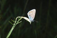 πεταλούδα λίγα Στοκ Φωτογραφίες