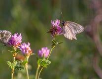 Πεταλούδα αγκαθιών πεταλούδων Στοκ εικόνες με δικαίωμα ελεύθερης χρήσης