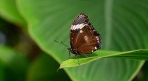 Πεταλούδα ανιχνεύσεων Στοκ εικόνες με δικαίωμα ελεύθερης χρήσης