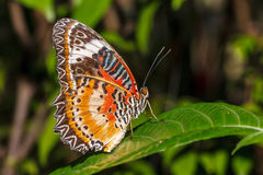 Πεταλούδα δαντελλών λεοπαρδάλεων (Cethosia cyane) Στοκ φωτογραφία με δικαίωμα ελεύθερης χρήσης