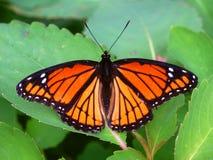 Πεταλούδα αντιβασιλέων (archippus Limenitis) Ιλλινόις Στοκ Εικόνες