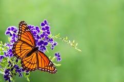 Πεταλούδα αντιβασιλέων (archippus Limenitis) Στοκ Εικόνες