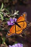 Πεταλούδα αντιβασιλέων (archippus Limenitis) Στοκ εικόνες με δικαίωμα ελεύθερης χρήσης