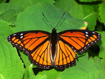 Πεταλούδα αντιβασιλέων (archippus Limenitis) Στοκ εικόνα με δικαίωμα ελεύθερης χρήσης