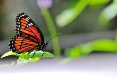 Πεταλούδα αντιβασιλέων (archippus Limenitis) Στοκ Φωτογραφία