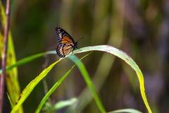 Πεταλούδα αντιβασιλέων, archippus Limenitis Στοκ εικόνα με δικαίωμα ελεύθερης χρήσης