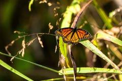 Πεταλούδα αντιβασιλέων, archippus Limenitis Στοκ εικόνες με δικαίωμα ελεύθερης χρήσης