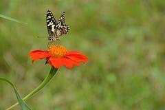 Πεταλούδα απορροφούν το νέκταρ Στοκ Φωτογραφίες
