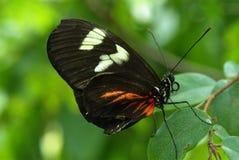 Πεταλούδα από την πλάτη Στοκ Εικόνες