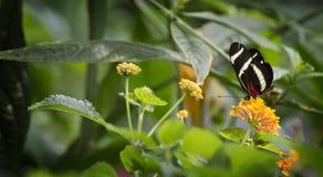 πεταλούδα αρκετά Στοκ Εικόνες