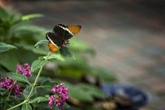 πεταλούδα αρκετά Στοκ Εικόνα