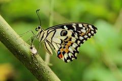 Πεταλούδα ασβέστη, πεταλούδα, έντομα Στοκ εικόνα με δικαίωμα ελεύθερης χρήσης