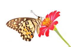 Πεταλούδα ασβέστη στο κόκκινο λουλούδι Στοκ φωτογραφία με δικαίωμα ελεύθερης χρήσης