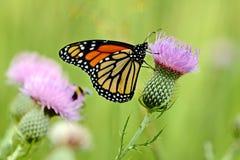 Πεταλούδα βασίλισσας Στοκ Φωτογραφίες