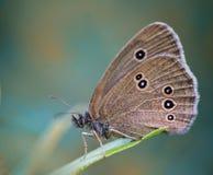 Πεταλούδα εντόμων σε μια λεπίδα χλόης Στοκ Εικόνες