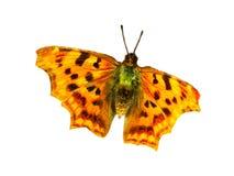 Πεταλούδα λεοπαρδάλεων Στοκ εικόνες με δικαίωμα ελεύθερης χρήσης