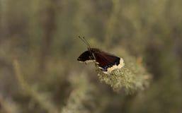 Πεταλούδα επενδυτών πένθους Στοκ εικόνες με δικαίωμα ελεύθερης χρήσης