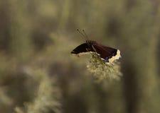 Πεταλούδα επενδυτών πένθους Στοκ Εικόνες