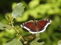Πεταλούδα επενδυτών πένθους - antiopa Nymphalis Στοκ Εικόνες