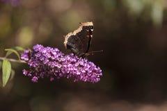 Πεταλούδα επενδυτών πένθους, antiopa Nymphalis Στοκ φωτογραφίες με δικαίωμα ελεύθερης χρήσης