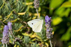 Πεταλούδα λευκού λάχανων Lavender στα λουλούδια Στοκ Εικόνες