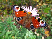 Πεταλούδα ευρωπαϊκό Peacock Στοκ Εικόνα
