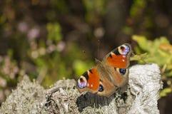 πεταλούδα ζωηρόχρωμη Στοκ εικόνες με δικαίωμα ελεύθερης χρήσης